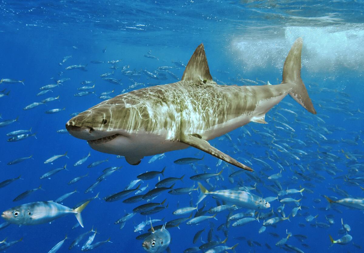 Velký bílý žralok - ilustrační foto