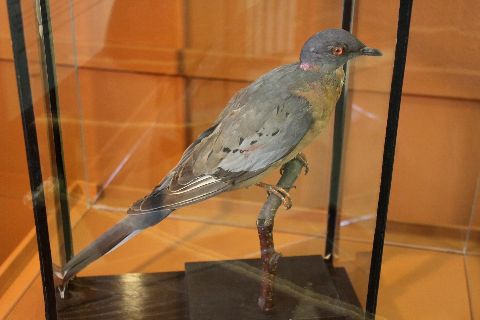 Vyhynulý holub stěhovavý