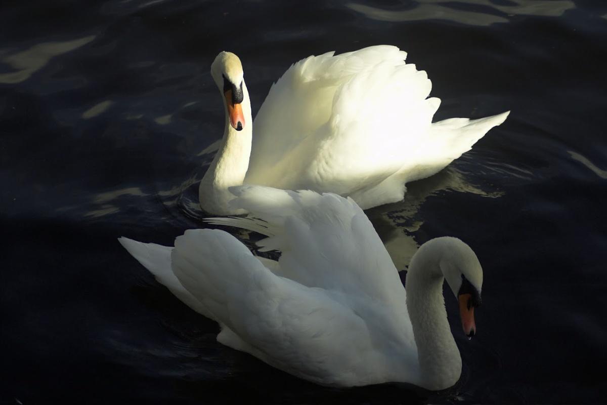 labutě