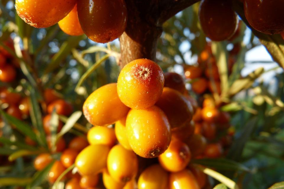 Rakytník řešetlákový, citroník severu. Abyste si mohli užívat jeho plody, musíte si na zahradu pořídit samčí a samičí rostlinu