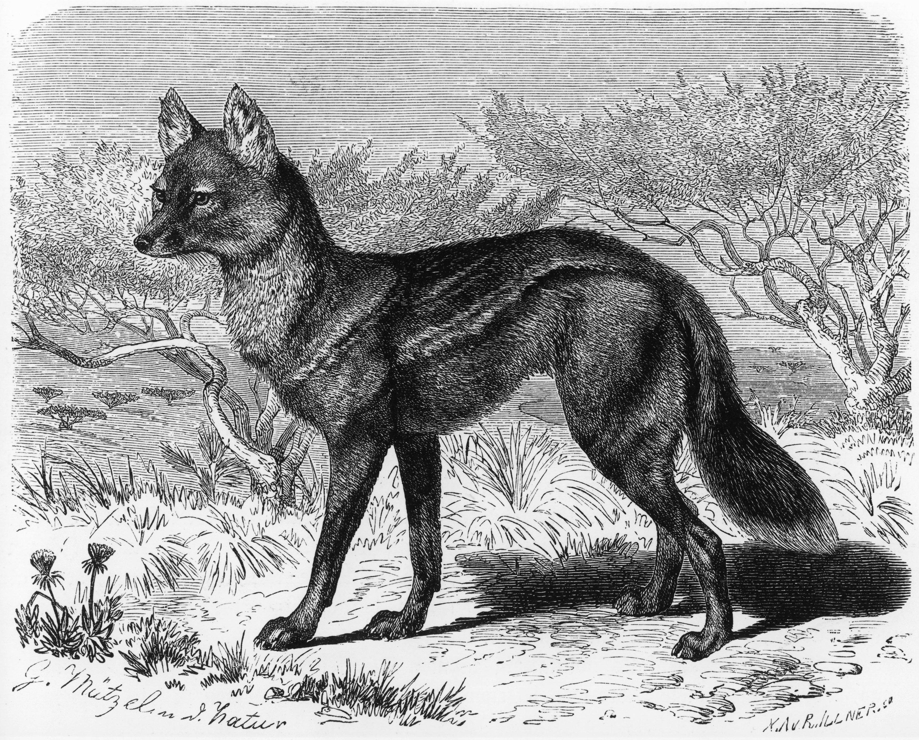 Gustav Mützel: Šakal pruhovaný. Z knihy Alfreda Brehma Život zvířat (1890)