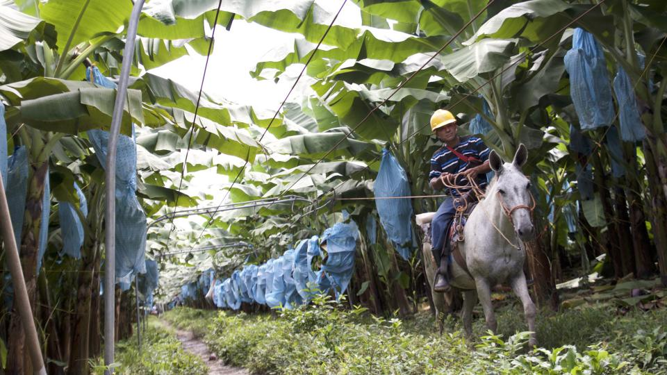 Pěstování banánů