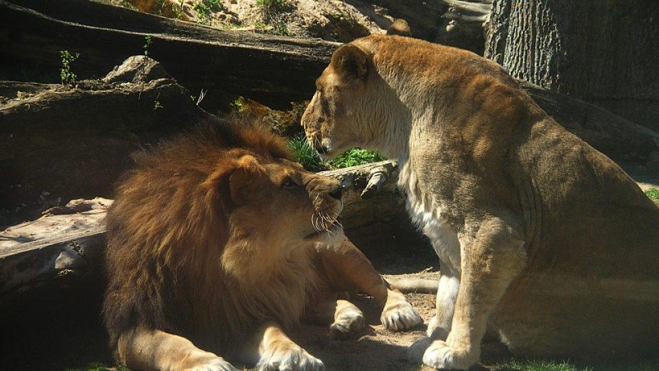 Lvi v ZOO DK