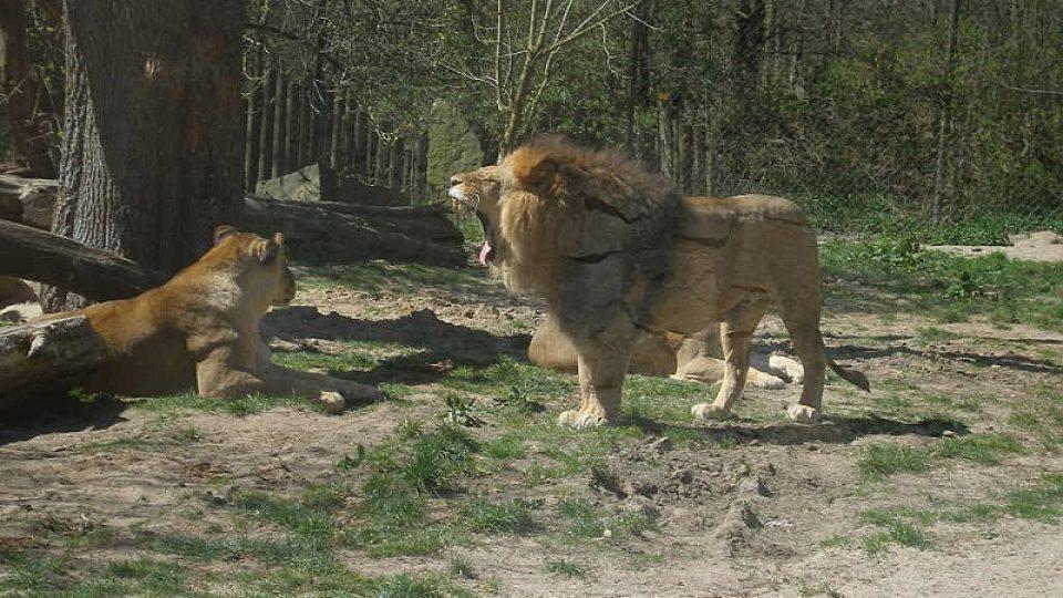 Venkovní výběh lvů