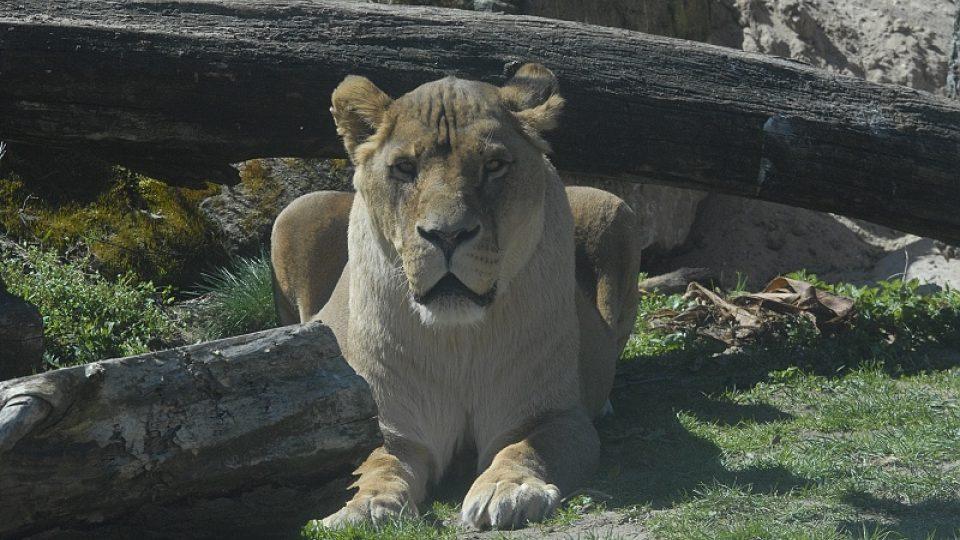 Jeden z vykastrovaných samců