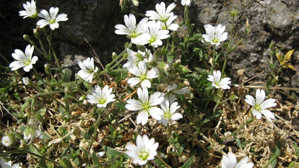 Rožce (Cerastium)