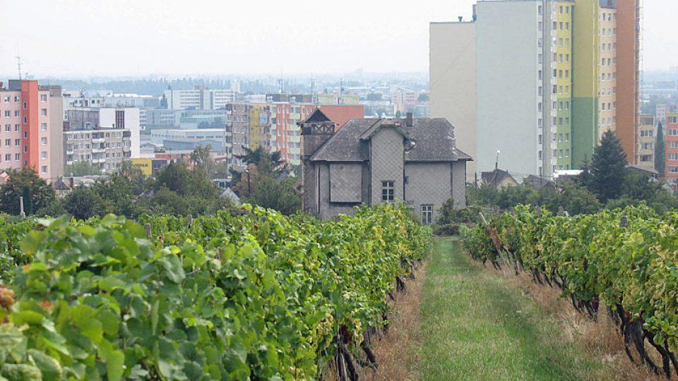 Vinice u bratislavské čtvrti Rača