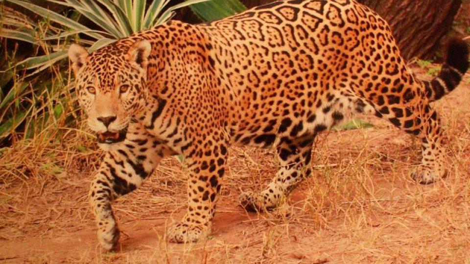 Radana Dungelová: Jaguár, Bolívie, 2009
