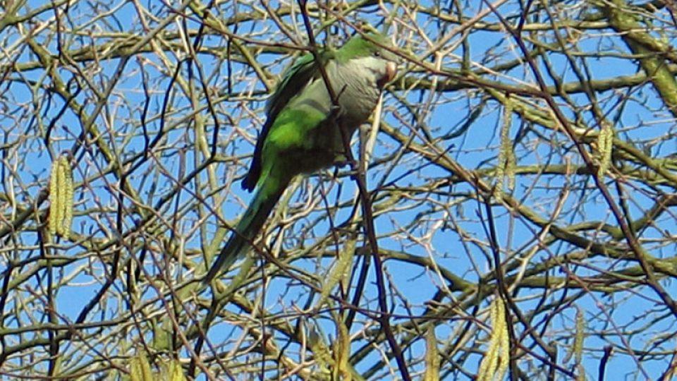 Papoušci zdomácněli v Bruselu
