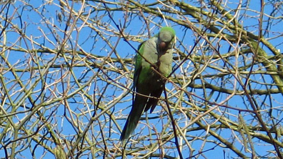 Brusel má nové obyvatele - papoušky