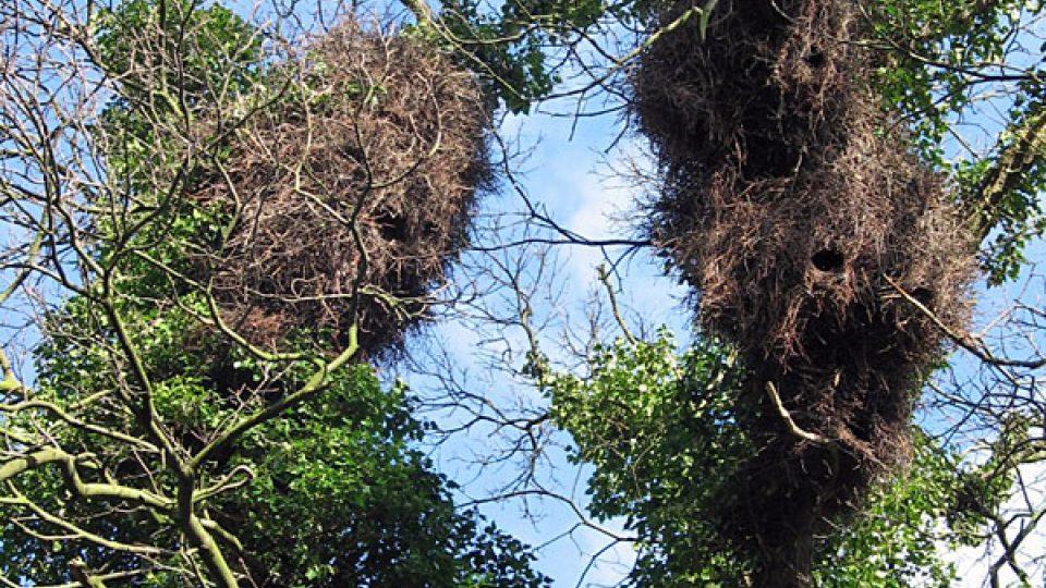 Hnízda papoušků na bruselských stromech