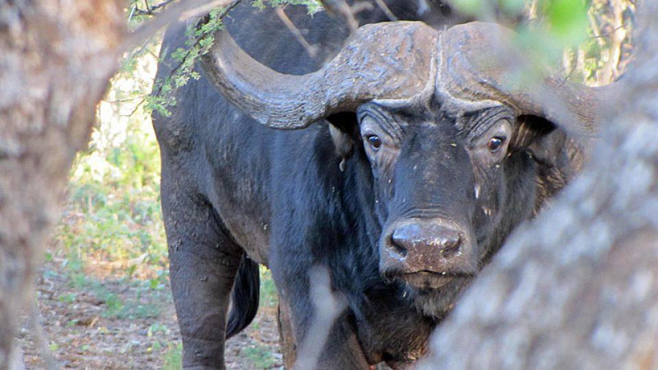 Zvědavý buvol na farmě Limpopo