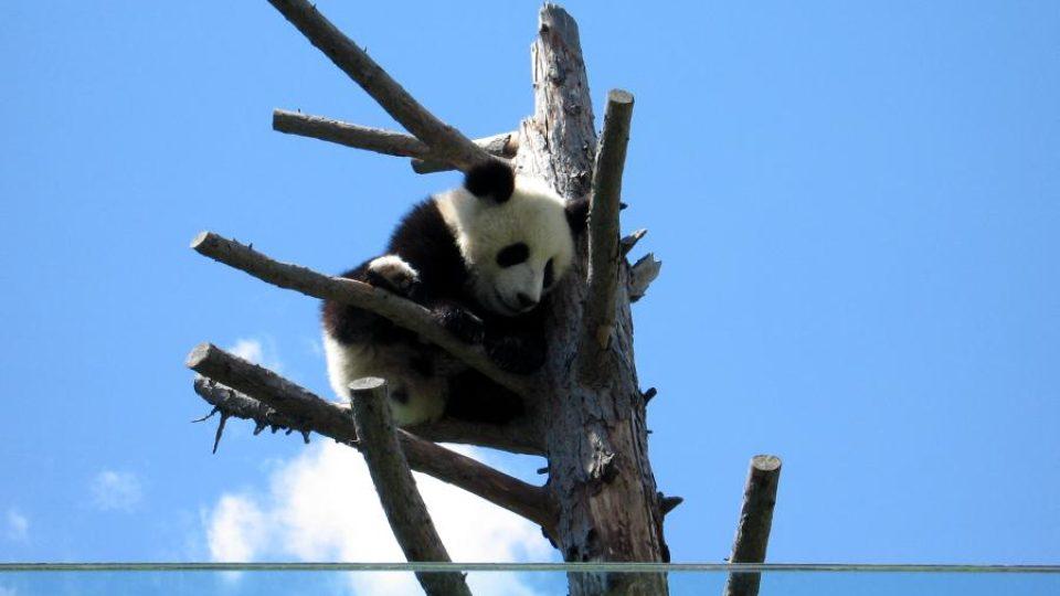 Roční mládě pandy Fu Long