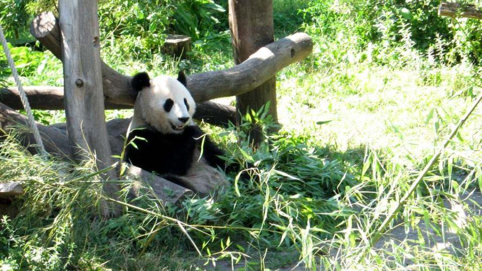 Yang Yang - matka pandího mláděte Fu Long