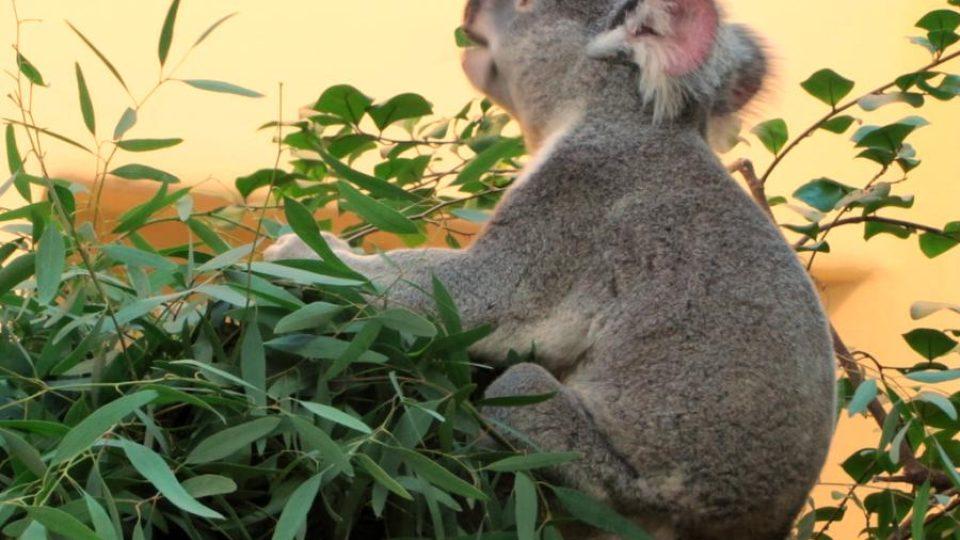 Medvídek koala při snídani