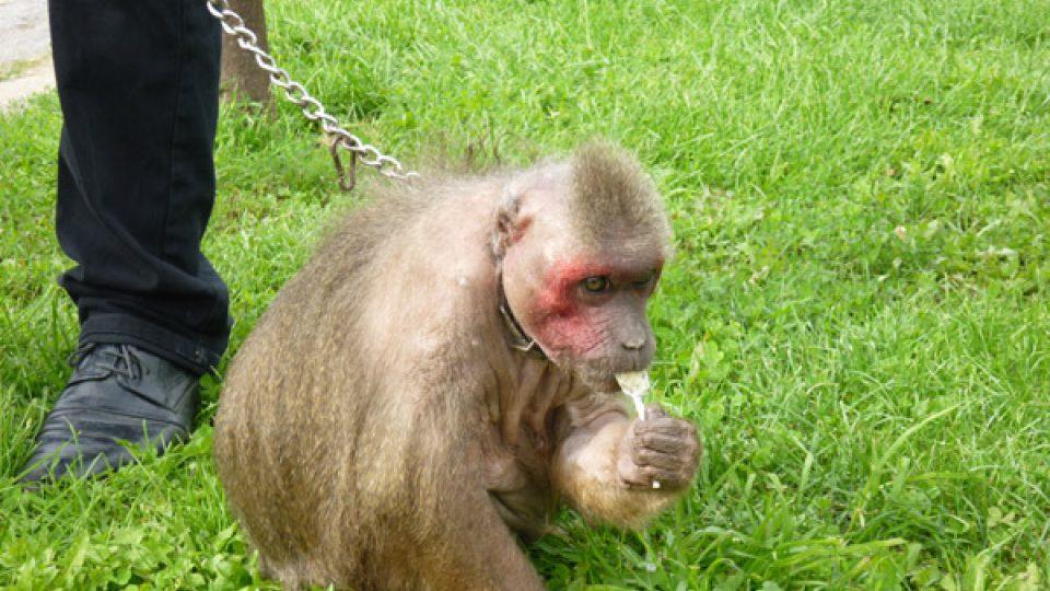 Toto je opička (makak) Máša z Národního cirkusu Jo-joo a pochutnává si  na lízátku, které našla v trávě