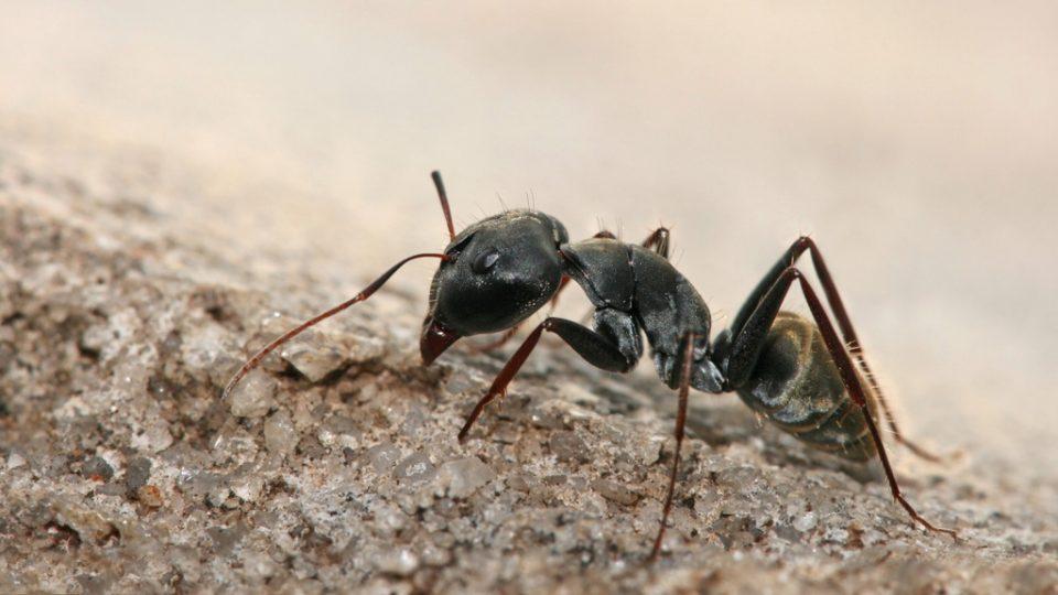 Mravenec Camponotus sp.