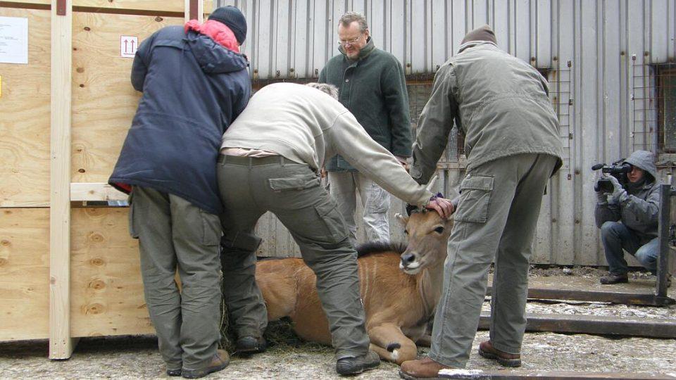 Ze Dvora Králové se vydala zvířata na cestu do Saudské Arábie