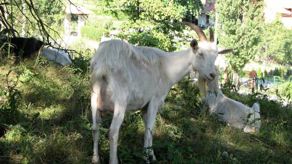 Kozy jsou fantastická a inteligentní zvířata. Pracuji s nimi raději než s lidmi, říká Nikola Banković