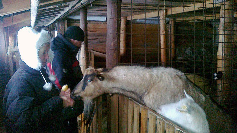 Koza ve stáji u Lesní boudy v Krkonoších s ekofarmářkou Markétou Kraiplovou