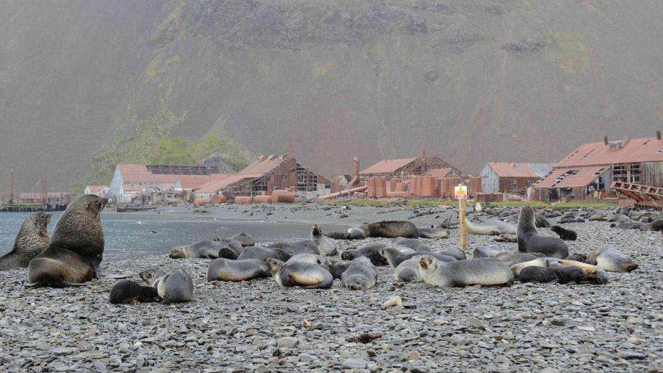 Dnes je bývalá velrybářská základna Stromness jen pustým chátrajícím a vylidněným místem, v němž vládu přejali tuleni a lachtani antarktičtí