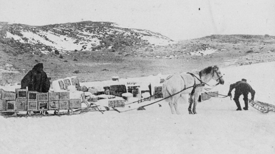 Polární expedice na počátku století používaly k přepravě zásob a vybavení poníky