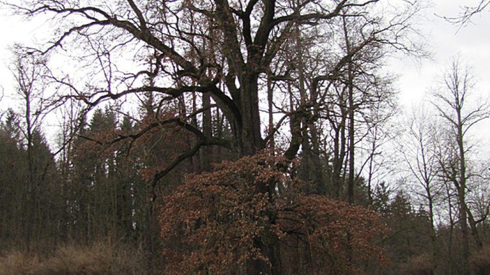 V podobných stromech žije Páchník hnědý