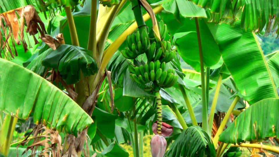 Kvůli plantážím banánovníků migrovali do Nikaraguy Evropané, i černí otroci