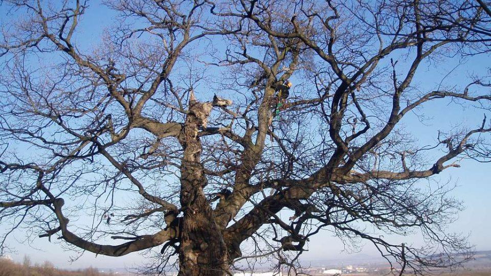 300 let starý dub u Postřižína (9)