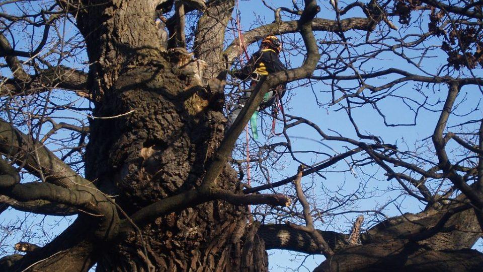 300 let starý dub u Postřižína (8)
