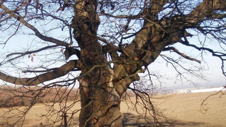 300 let starý dub u Postřižína (5)