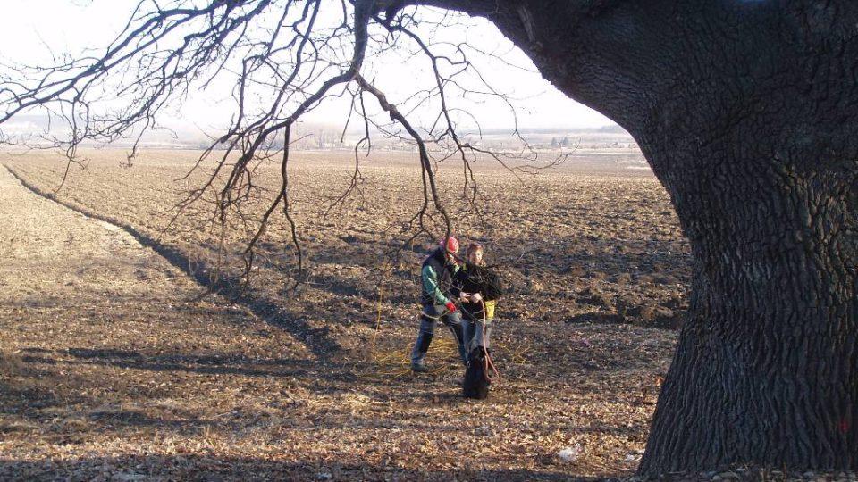 300 let starý dub u Postřižína (3)