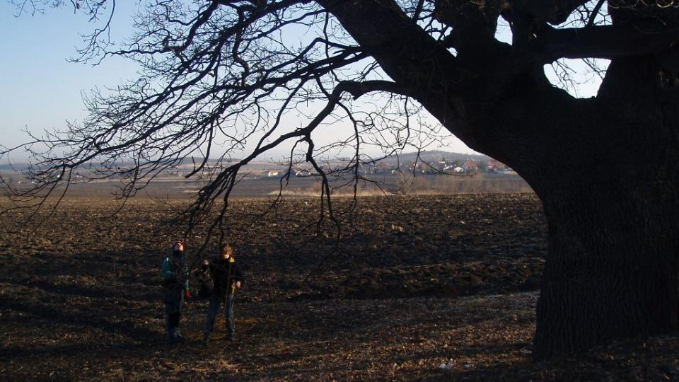 300 let starý dub u Postřižína (2)