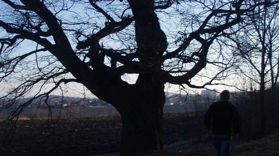 300 let starý dub u Postřižína (1)