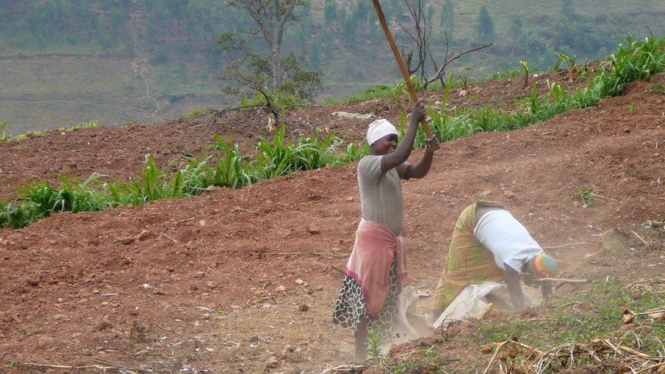 Káva roste ve velkých výškách spolu s banány i bramborami. Práce na terasovitých políčcích je náročná