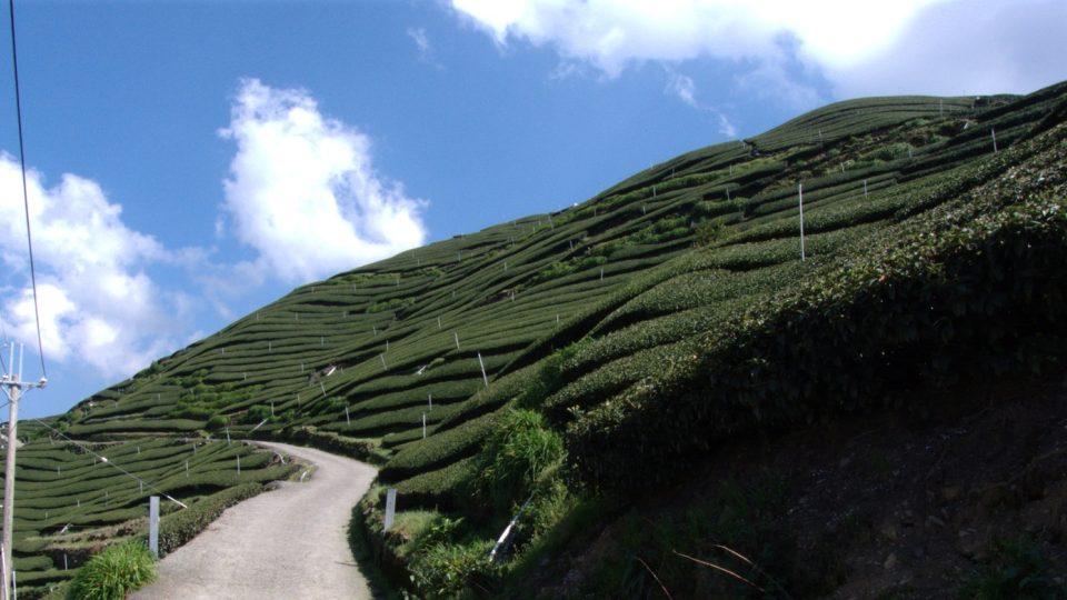 Čajová pole...