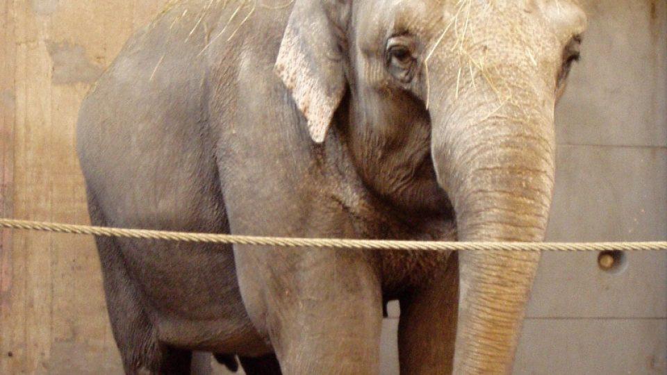 Slonice Gulab obývá starý pavilón v pražské zoo už 45 let. Těší se na nový?
