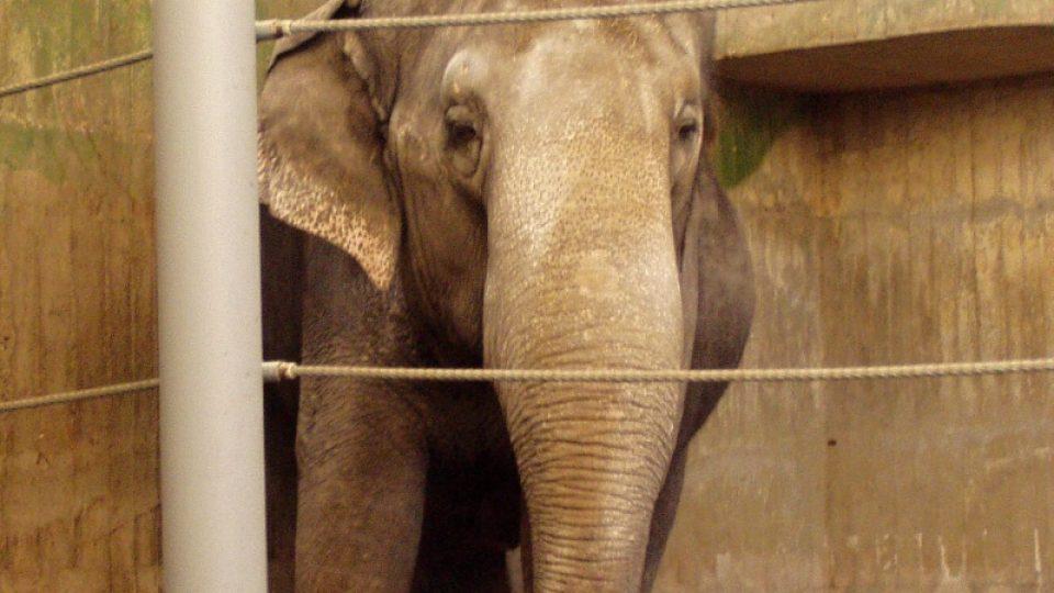 Slonice Shanti ve stávajícím, nevyhovujícím pavilonu, který by měl už brzy nahradit nový