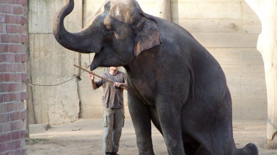Sloní samice v Zoo Praha ovládají až třicet povelů