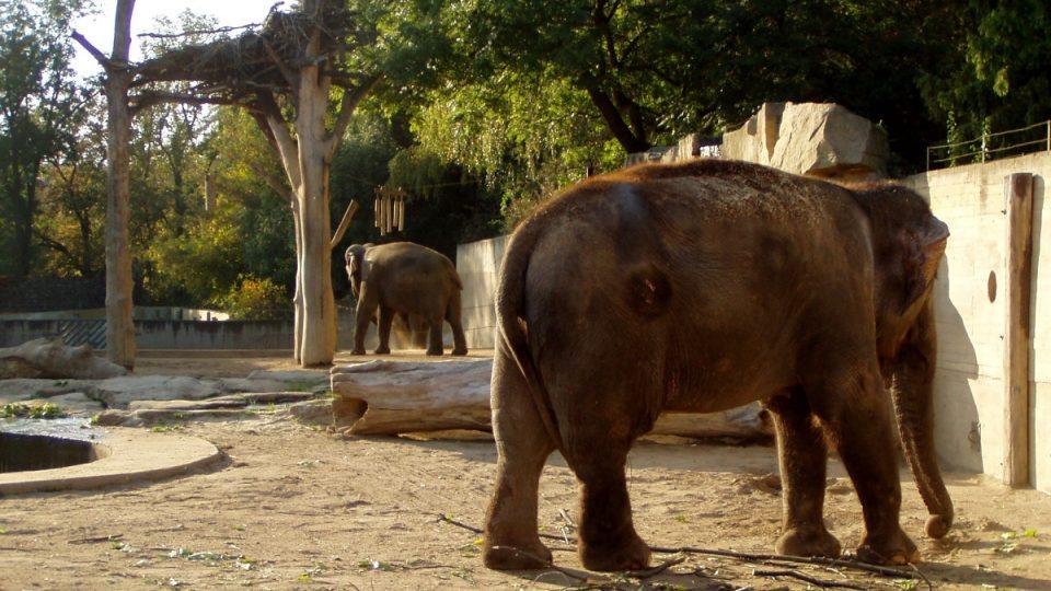 V přímém kontaktním chovu je snazší provést ošetření jakéhokoli zranění, které si slon ve výběhu přivodí