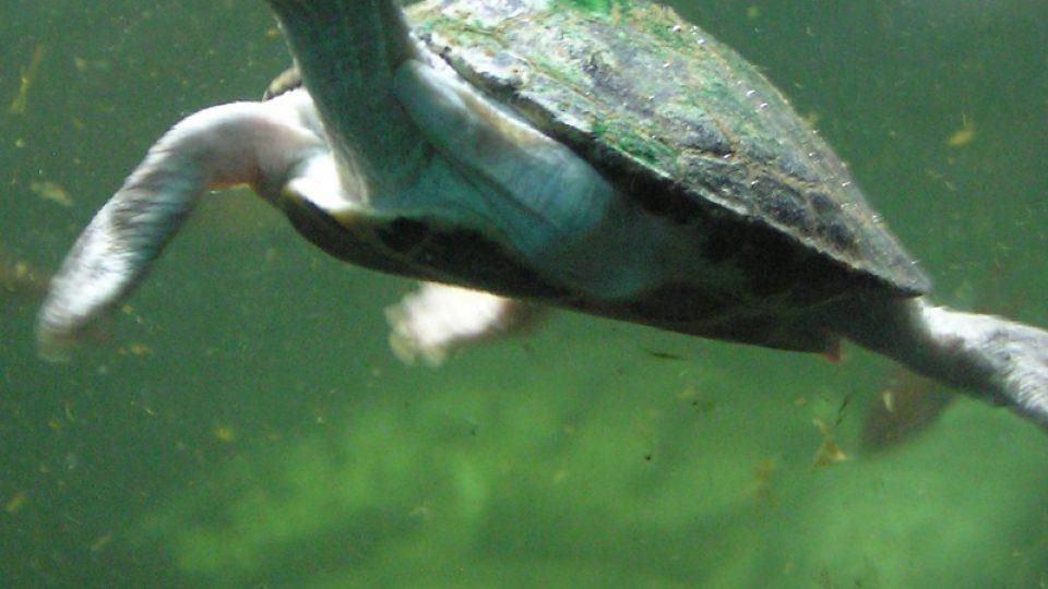 Pavilón Čambal obývají spolu s gaviály také dva druhy želvy. Krokodýli si na ně rychle zvykli