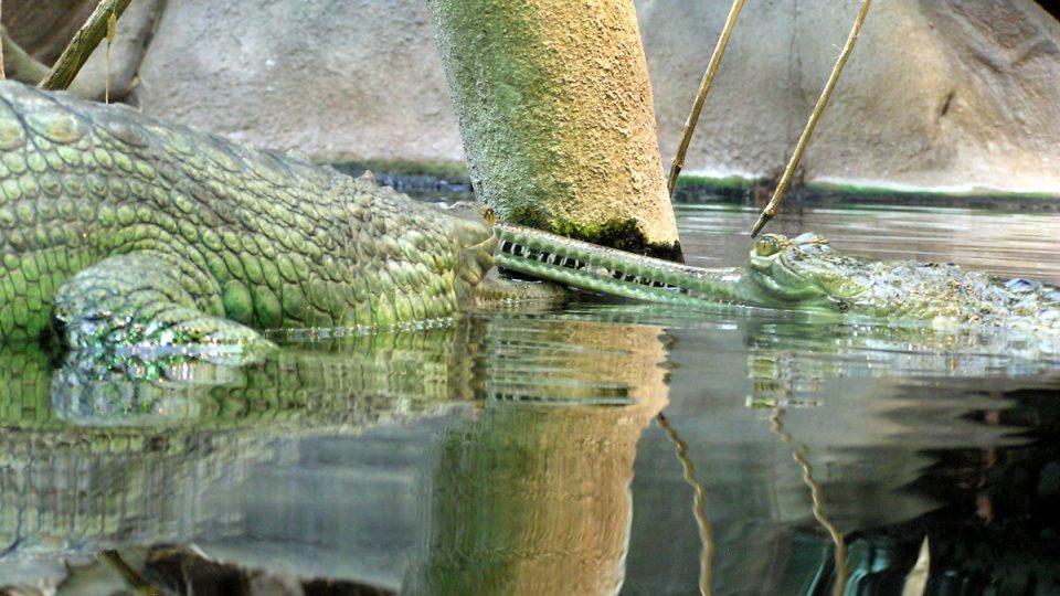 Pražská skupinka čítá sedm mladých gaviálů