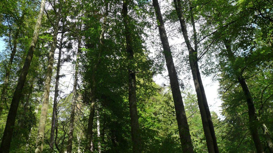 Boubínský prales II
