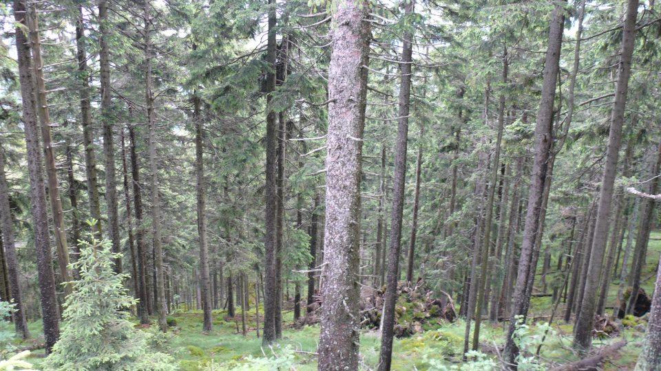 Boubínský prales VIII