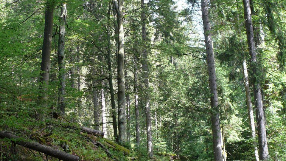 Boubínský prales, cesta na rozhlednu