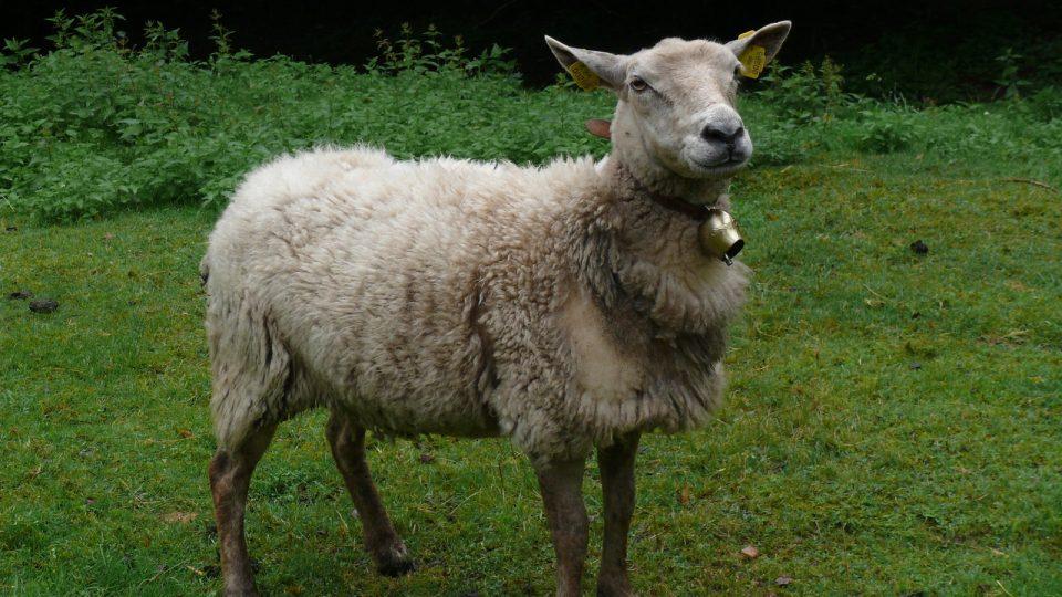 Ovce se zvonky, které se původně v okolí hradu pásly