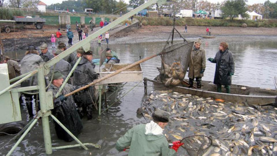 Výlov rybníku Dvořiště se koná vždy jednou za dva roky (ilustrační foto)