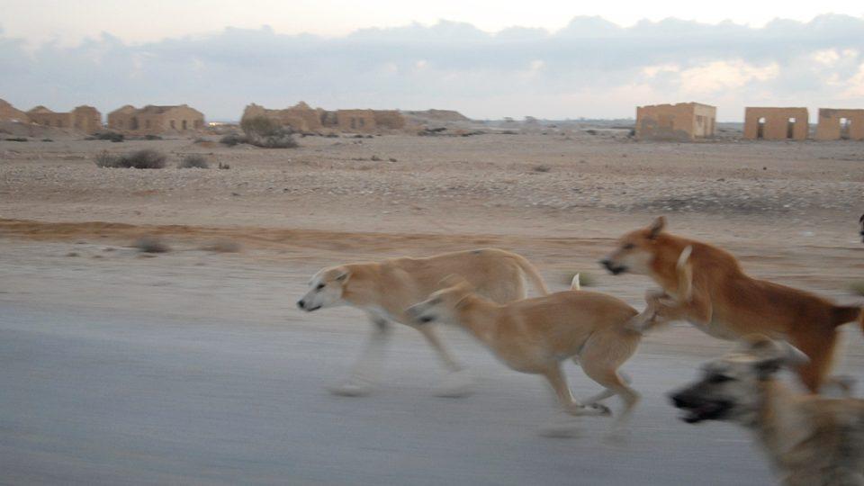 Rozzuření divocí psi u bývalého nádraží v Hafíru. I Jaroš je tu zažil