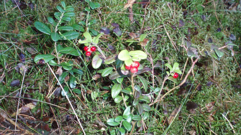 Na Dunajovické hoře roste množství borůvek i brusinek, ty tu dozrávají i v podzimních měsících