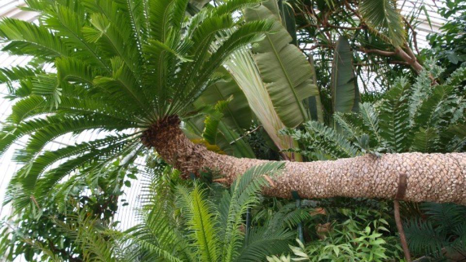 Obří palma v botanické zahradě v Londýně potřebuje pro svůj život oporu